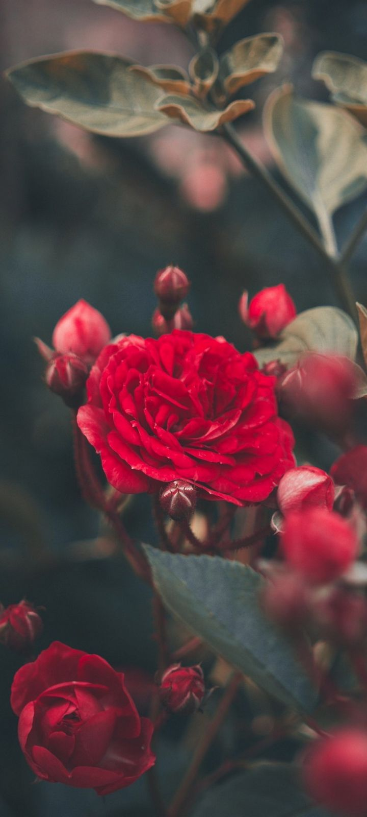 Red Rose Bush Garden Wallpaper 720x1600