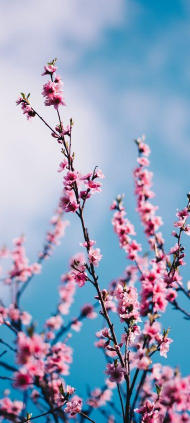 Sakura Flowers Branches Wallpaper 720x1600 380x844