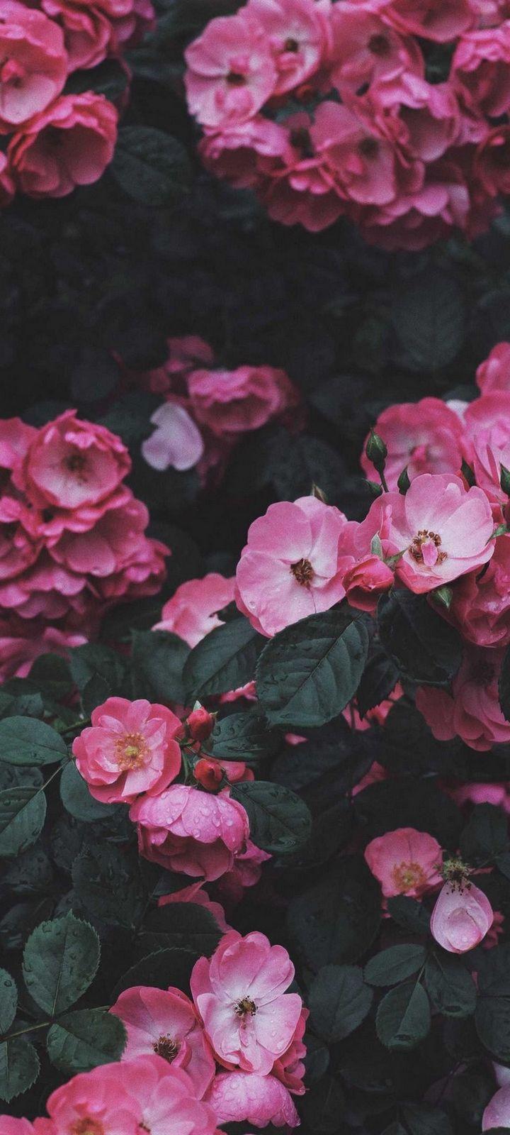 Wild Rose Rose Bush Wallpaper 720x1600