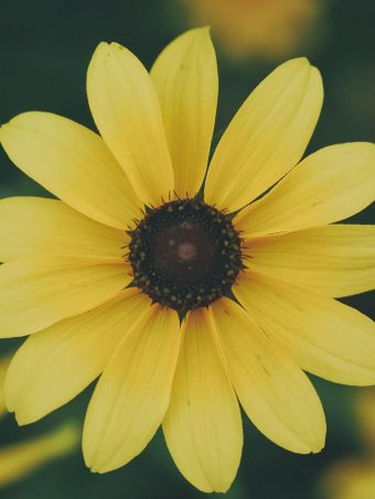 Flower Petals Yellow 1620x2160 1 340x453