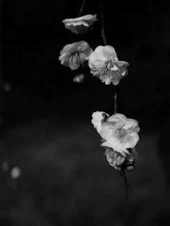 Flowers Bw Flowering 1620x2160 1 340x453