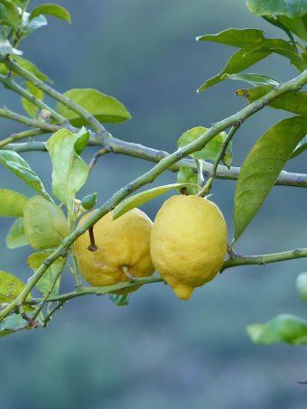 Lemons Fruit Tree Branch 1620x2160 1 340x453