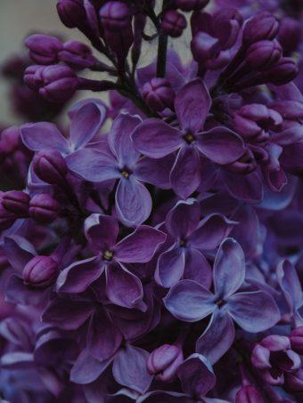 Lilac Inflorescences Flowers 1620x2160 1 340x453