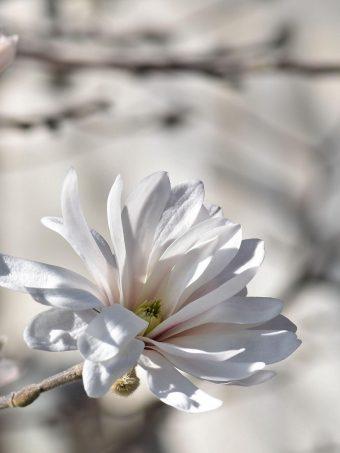 Magnolia Tree Flowers 1620x2160 1 340x453