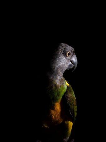 Parrot Bird Dark 1620x2160 1 340x453