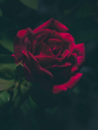 Rose Bud Dark 1620x2160 1 340x453