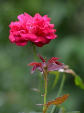 Rose Bud Flower 1620x2160 1 340x453