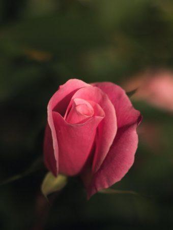 Rose Bud Pink Blur Wallpaper 1620x2160 1 340x453