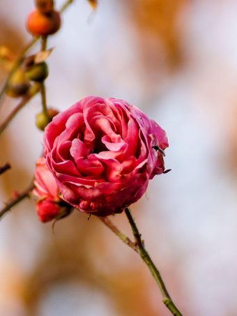 Rose Flower Bud Close Up 1620x2160 1 340x453