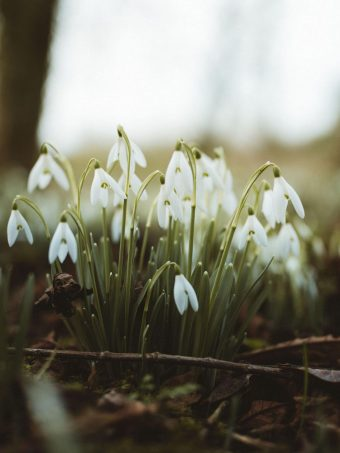 Snowdrops Flowers Flowering 1620x2160 1 340x453