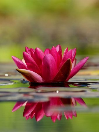 Waterlily Flower Petals Water 1620x2160 1 340x453