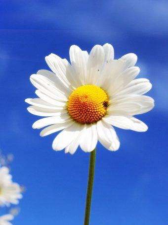 White Diasy Flowers At Summer I3 Wallpaper 1620x2160 1 340x453