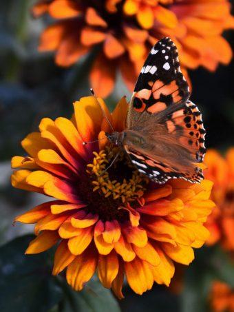 Zinnia Butterfly Flower Wallpaper 1620x2160 1 340x453