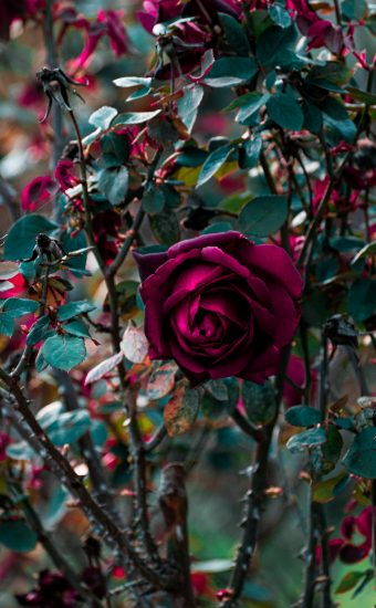 iPhone Flower Wallpaper 020 340x550