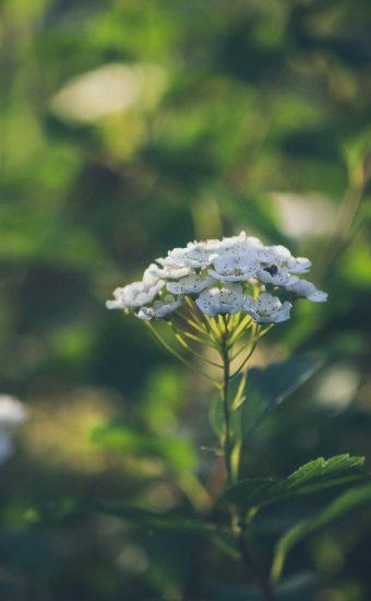 iPhone Flower Wallpaper 024 340x550