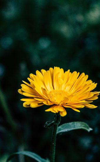 iPhone Flower Wallpaper 025 340x550